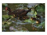 Ducky Swim