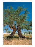 Olive Trees Djerba Tunisia