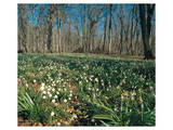 Snowdrops Flowering In Forest