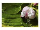 Apple Blossom Drop