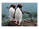 Pair Of Rock-Hopper Penguins
