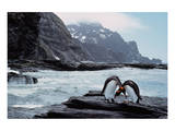 Pair Of Penguins Rugged Coast