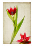 Red Tulips IV