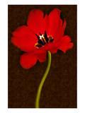 Red Tulip IV