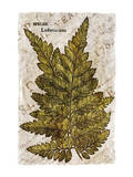 Vintage Fern: Species Ludoviciana  Southern Wood Fern