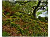 Killarney Moss Roots  Ireland