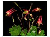 Red Columbine Garden Wildflowers