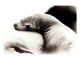 Baby Sea Lion Reproduction d'art par Steve Munch