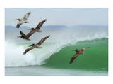 Pelicans Follow Leader