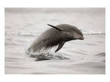 Curious Dolphin 2