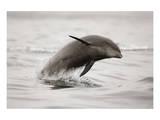 Curious Dolphin 2 Reproduction d'art par Steve Munch
