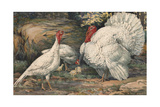 A Painting of White Holland Turkeys and their Chicks
