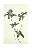 A Painting of a Sprig of Red Clover