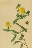 This Shrub Is a Member of the Saint John'S-Wort Family