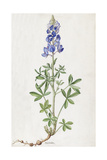 A Painting of a Spring of Texas Lupine