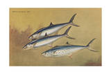 Painting of Two Kingfish Swimming Alongside a Spanish Mackerel