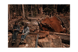 Lumbermen Conversing Among Fallen Giant Redwood Trees