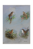 A Painting of Several Different Species of Wren
