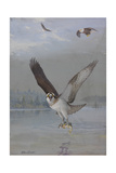 Painting of an Osprey Catching a Fish as Two Bald Eagles Fly Above