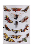 Collection of Cicadas  Lantern Flies  and 17-Year Locusts