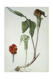 Painting of Jack-In-The-Pulpit Plant  Flower  and Berries