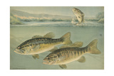 A Painting of Largemouth Bass (Upper) and Smallmouth Black Bass