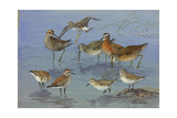 A Painting of Three Species of Sandpiper and an Eastern Dowitcher