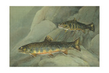 A Painting of a Pair of Brook Trout Swimming over Rocks