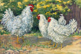 Frizzle Chickens Have Upward-Turned Feathers