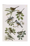 Paintings of Titmice and Wrentits