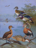A Painting of Several Species of Ducks