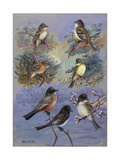 A Painting of Several Species of Flycatcher and Phoebe