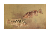 Painting of Two Grouper Fish