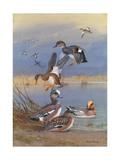 A Painting of American Widgeons  Eurasian Widgeons  and Gadwalls