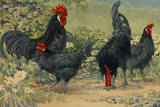 Four Blue Andalusian Chickens  or Historically Blue Minorca Chickens