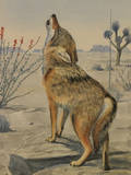 A Painting of a Howling Arizona  or Mearns  Coyote