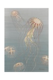 Painting of Two Species of Jellyfish  One of Which Has a Colony Stage