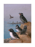 A Painting of Four Different Species of Auklet