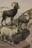 A Painting of a Stone'S  Fannin's and Dall's Mountain Sheep