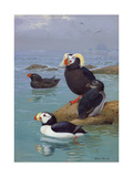 A Painting of Tufted Puffins and Horned Puffins