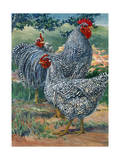 A View of Barred Plymouth Rock Chickens  One of the Seven Varieties