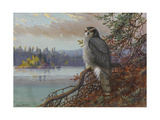 A Painting of a Perched Northern Goshawk