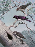 Female Greater Honey-Guide Scouts Starlings' Nest in Acacia Tree