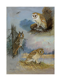 A Painting of a Barn Owl  a Long-Eared Owl  and a Short-Eared Owl