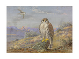 A Painting of an Adult and an Immature Prairie Falcon