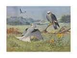 A Painting of a White-Tailed Kite and Two Mississippi Kites