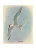 A Painting of a Common Tern Flying with Two  Distant  Companions