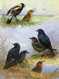 Painting of Bobolinks  Brewer's Blackbirds and Rusty Blackbirds