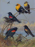 Painting of Various Blackbirds from across the United States