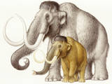A Dwarf Wooly Mammoth Compared to a Larger Wooly Mammoth